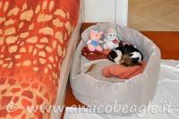 Superare la prima notte con il cucciolo di beagle foto