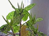 Dieffenbachia