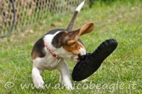 A che età si calma un beagle foto