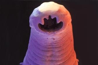Helminths pericoloso per infezione intra di laboratorio