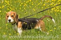 Accessori per il Beagle: collare (o pettorina) e guinzaglio foto