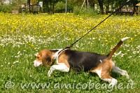beagle tira al guinzaglio foto