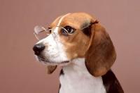 beagle anni di vita foto