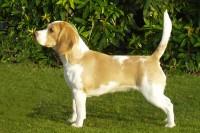 standard del beagle foto