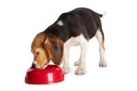 alimentazione beagle foto