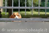 beagle ansia da separazione foto
