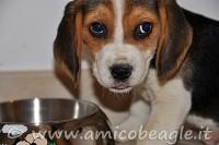 inappetenza beagle foto