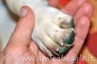 La cura del Beagle: le unghie foto