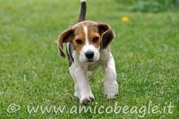beagle richiamo foto