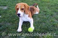 10 giochi che piacciono al beagle