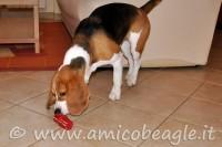 beagle masticare foto