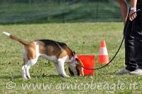 beagle passeggiata foto