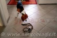 Come fare se il beagle odia oggetti o situazioni