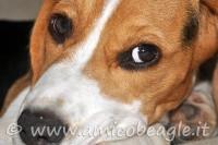 Occhi beagle