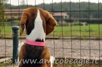 Beagle e giardino