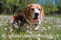 beagle primavera foto