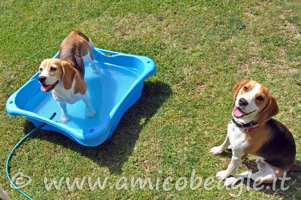beagle estate