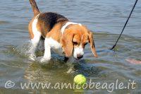 beagle paura acqua foto