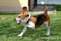 beagle iperattivo foto