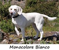 colori beagle foto