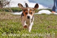 Con i cuccioli di Beagle ci vuole pazienza foto