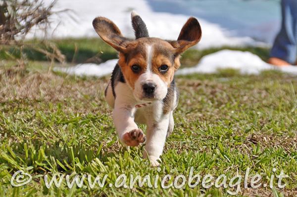 beagle cucciolo vita cambia foto