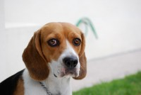 beagle furto foto