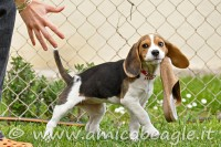beagle pazzo