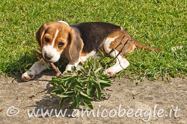 Come evitare che il nostro Beagle divori qualunque schifezza foto