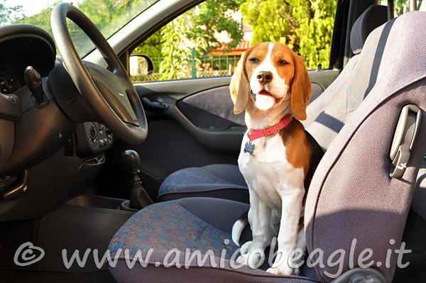 beagle in auto foto