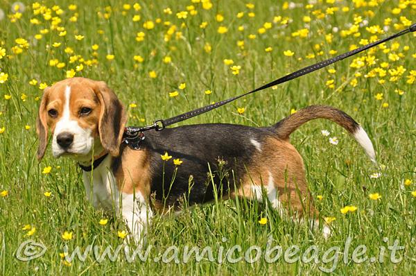 accessori per il beagle collare o pettorina e guinzaglio foto