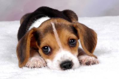 nome cucciolo beagle foto