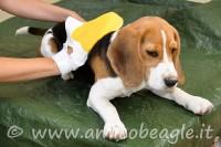 beagle manto cura foto