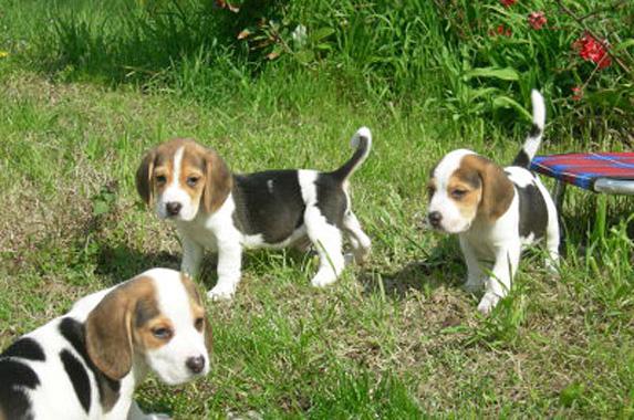 Allevamenti Beagle Amico Beagle
