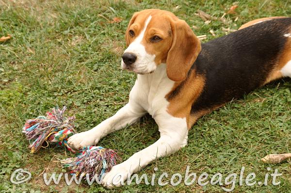 giochi per beagle foto