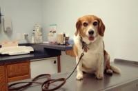 Le vaccinazioni del Beagle