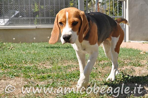beagle zoppica foto