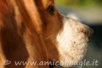fiuto del beagle foto