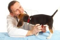 Scegliamo il veterinario per il nostro Beagle