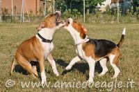 Se il Beagle si azzuffa foto