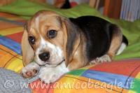 beagle da solo foto