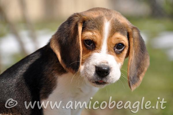 beagle eta giusta foto
