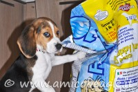Dieta beagle: crocchette, 4 suggerimenti per sceglierle bene foto