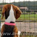 beagle investito foto