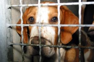 perche beagle vivisezione foto