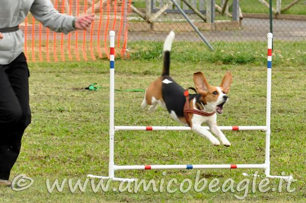 agility beagle foto