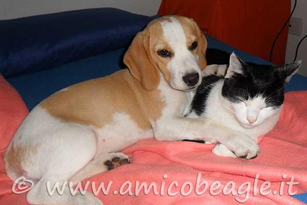 beagle e gatti foto