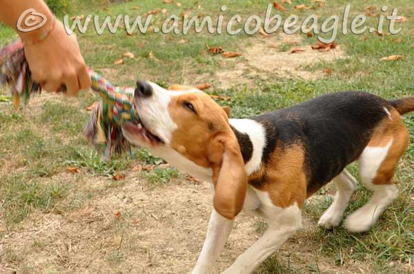 Ma il Beagle è così testardo!