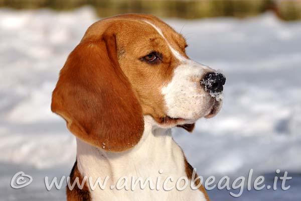 beagle freddo foto
