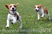 Il carattere del Beagle